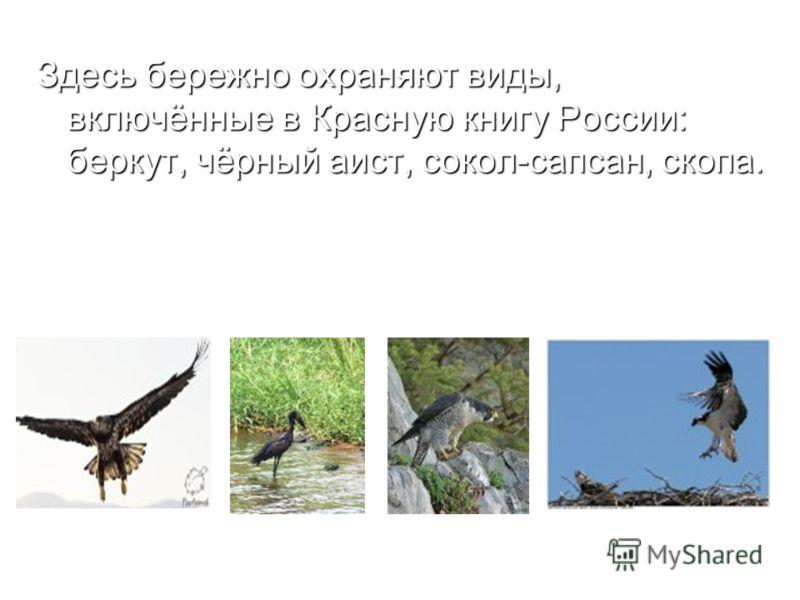 Здесь бережно охраняют виды, включённые в Красную книгу России: беркут, чёрный аист, сокол-сапсан, скопа. беркут Чёрный аист сокол-сапсан скопа