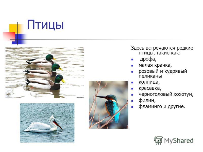 Птицы Здесь встречаются редкие птицы, такие как: дрофа, малая крачка, розовый и кудрявый пеликаны колпица, красавка, черноголовый хохотун, филин, фламинго и другие.