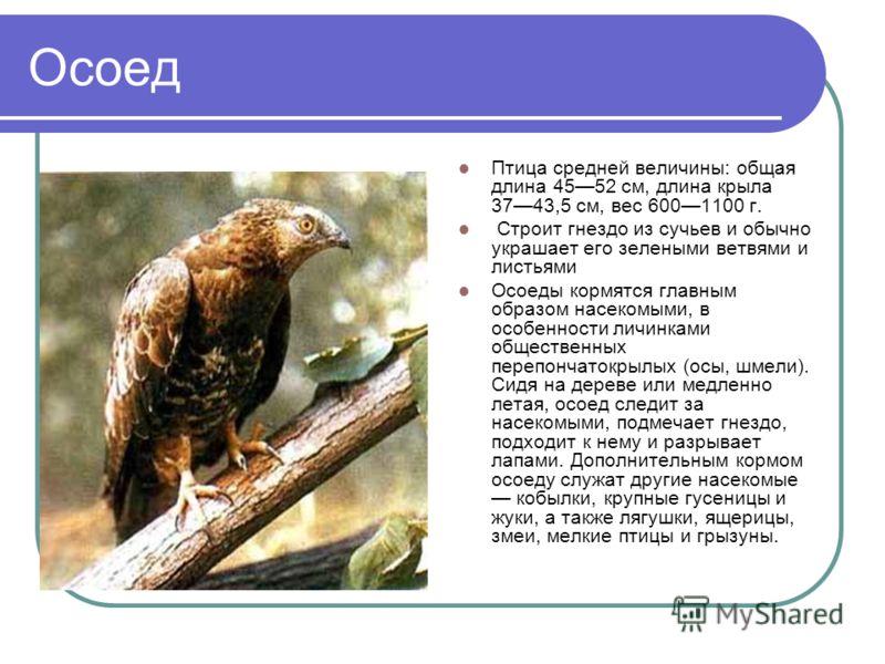 Осоед Птица средней величины: общая длина 4552 см, длина крыла 3743,5 см, вес 6001100 г. Строит гнездо из сучьев и обычно украшает его зелеными ветвями и листьями Осоеды кормятся главным образом насекомыми, в особенности личинками общественных перепо