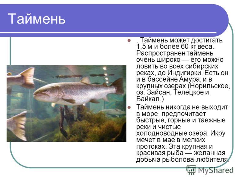 Таймень. Таймень может достигать 1,5 м и более 60 кг веса. Распространен таймень очень широко его можно ловить во всех сибирских реках, до Индигирки. Есть он и в бассейне Амура, и в крупных озерах (Норильское, оз. Зайсан, Телецкое и Байкал.) Таймень