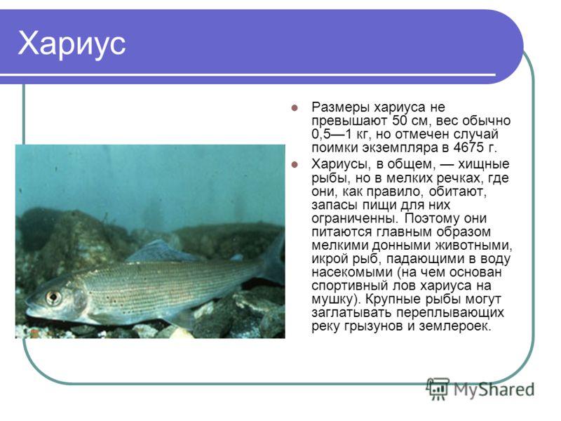 Хариус Размеры хариуса не превышают 50 см, вес обычно 0,51 кг, но отмечен случай поимки экземпляра в 4675 г. Хариусы, в общем, хищные рыбы, но в мелких речках, где они, как правило, обитают, запасы пищи для них ограниченны. Поэтому они питаются главн