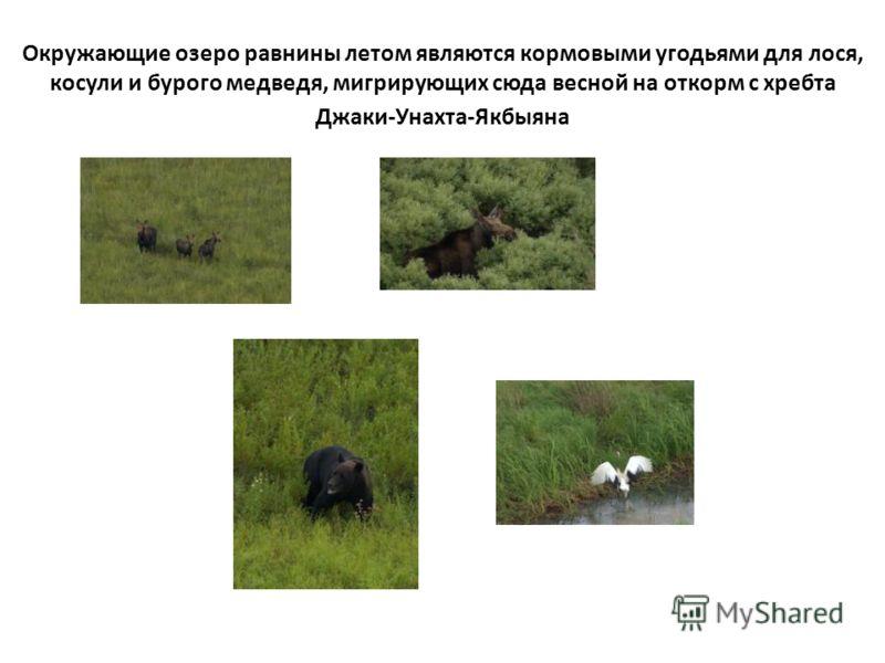 Окружающие озеро равнины летом являются кормовыми угодьями для лося, косули и бурого медведя, мигрирующих сюда весной на откорм с хребта Джаки-Унахта-Якбыяна