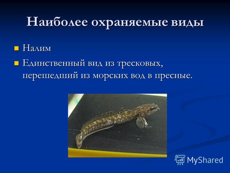 Наиболее охраняемые виды Налим Налим Единственный вид из тресковых, перешедший из морских вод в пресные. Единственный вид из тресковых, перешедший из морских вод в пресные.
