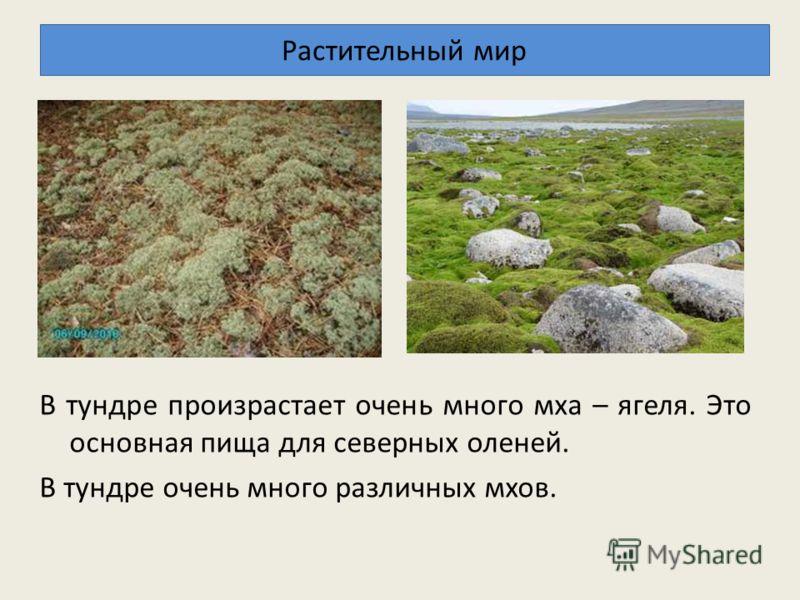 Растительный мир В тундре произрастает очень много мха – ягеля. Это основная пища для северных оленей. В тундре очень много различных мхов.
