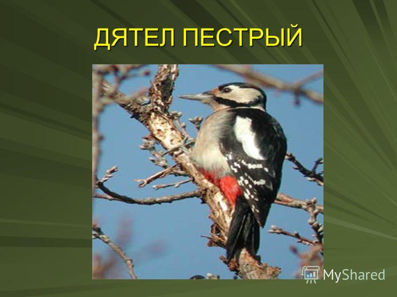 ДЯТЕЛ ПЕСТРЫЙ