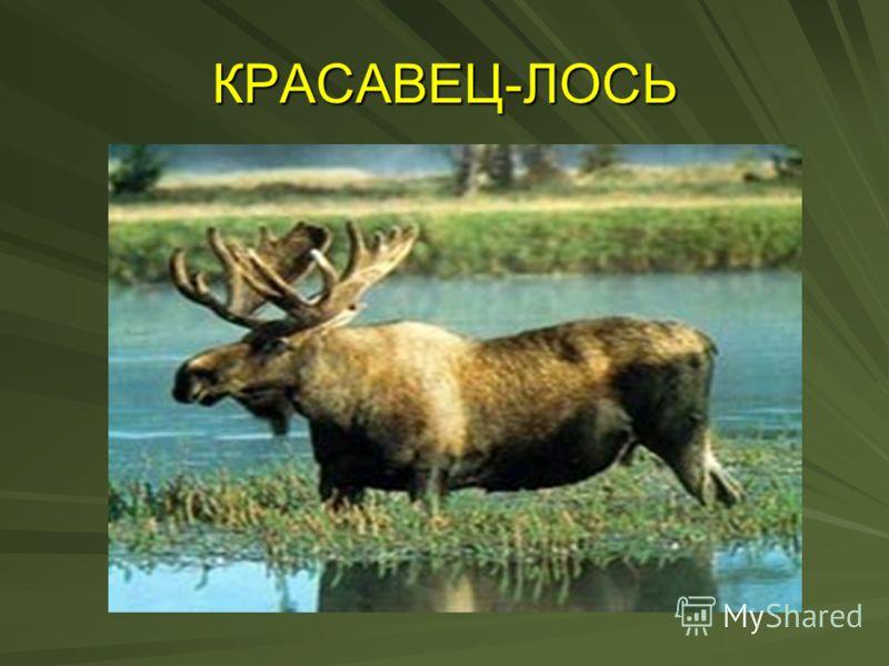 КРАСАВЕЦ-ЛОСЬ