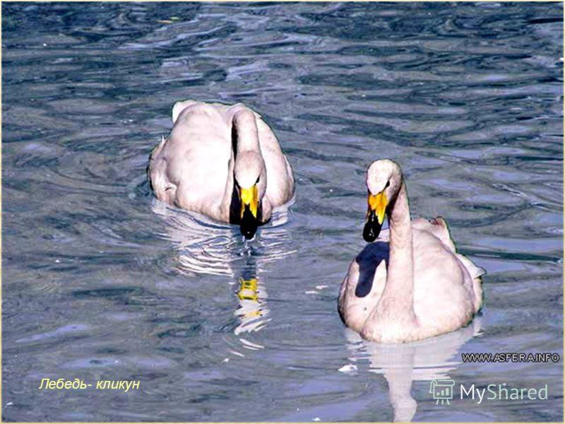 Лебедь- кликун