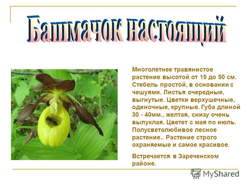 Многолетнее травянистое растение высотой от 15 до 50 см. Стебель простой, в основании с чешуями. Листья очередные, выгнутые. Цветки верхушечные, одиночные, крупные. Губа длиной 30 - 40мм., желтая, снизу очень выпуклая. Цветет с мая по июль. Полусвето