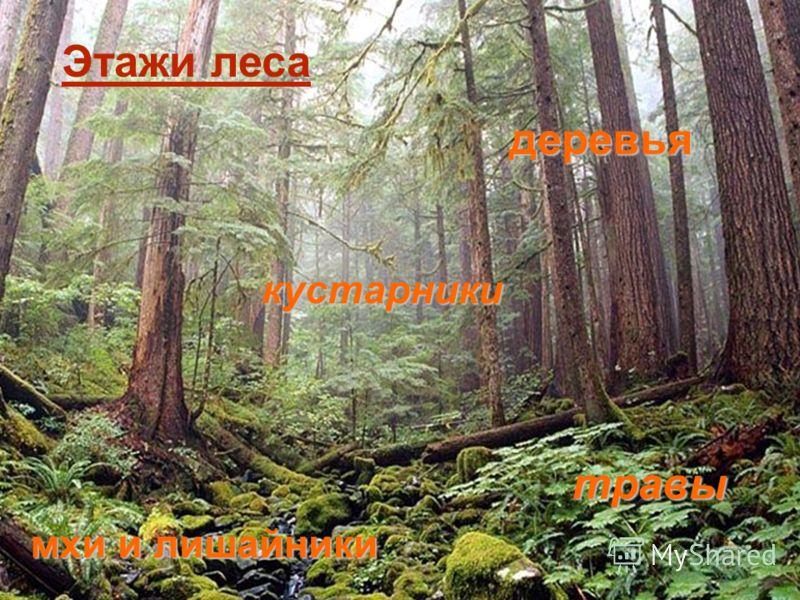 Лесные этажи Деревья Кустарники Кустарнички и травы Мхи и лишайники деревья кустарники травы мхи и лишайники Этажи леса