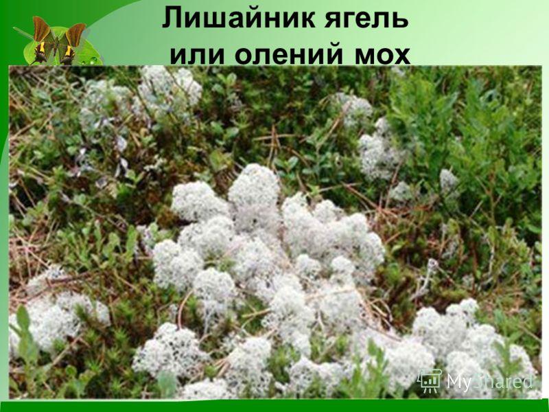 Лишайник ягель или олений мох
