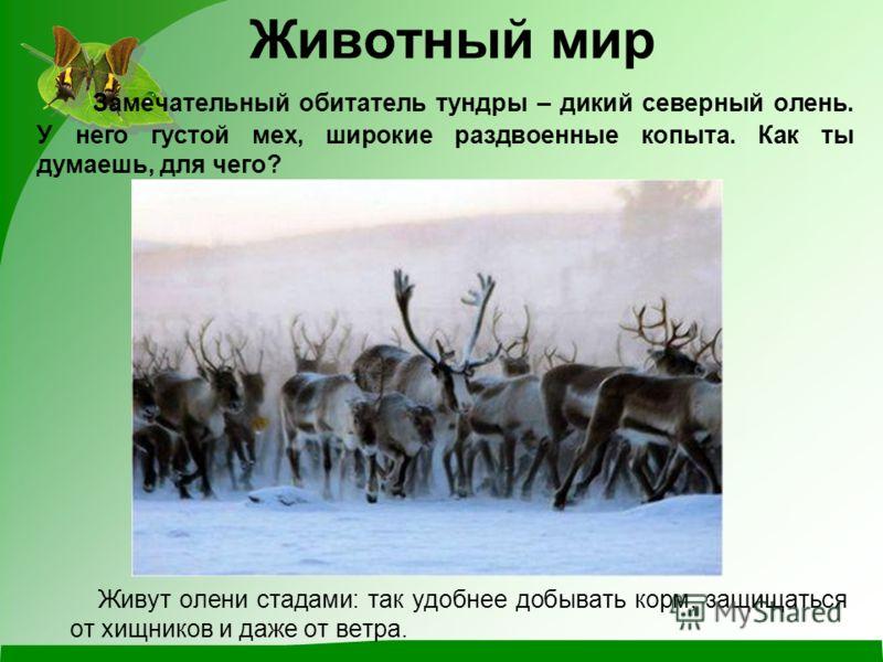 Замечательный обитатель тундры – дикий северный олень. У него густой мех, широкие раздвоенные копыта. Как ты думаешь, для чего? Живут олени стадами: так удобнее добывать корм, защищаться от хищников и даже от ветра. Животный мир