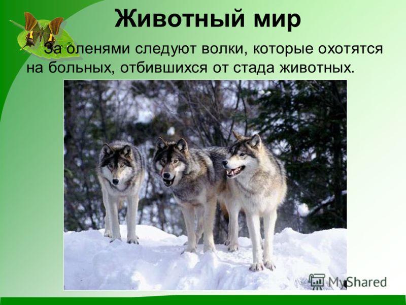 За оленями следуют волки, которые охотятся на больных, отбившихся от стада животных. Животный мир