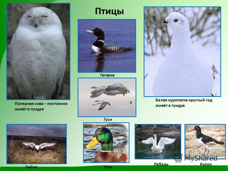 Птицы Полярная сова – постоянно живёт в тундре Белая куропатка круглый год живёт в тундре Гагарка Гуси Чайка Кулик Утка Лебедь