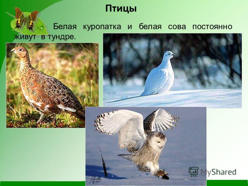 Белая куропатка и белая сова постоянно живут в тундре. Птицы