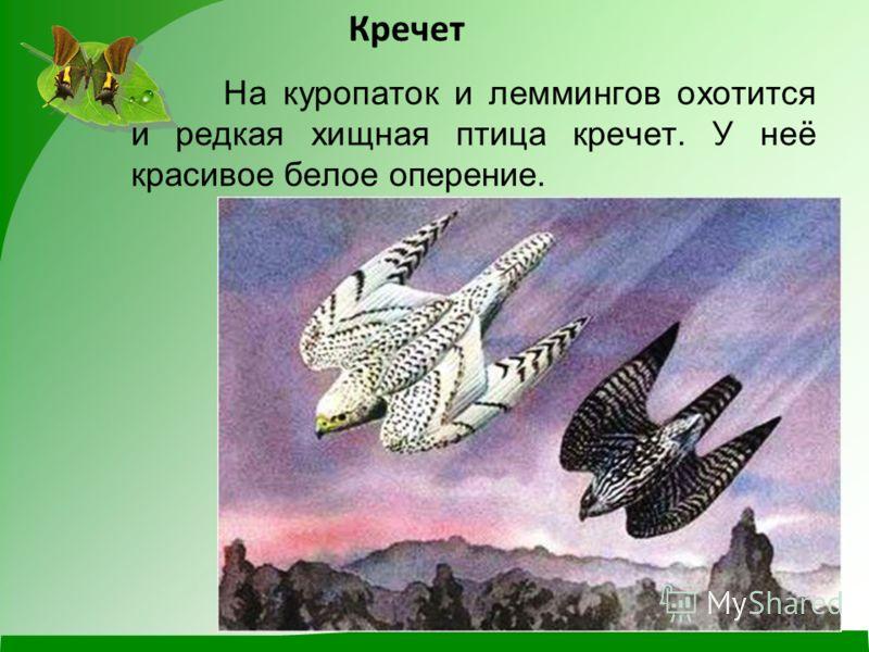 На куропаток и леммингов охотится и редкая хищная птица кречет. У неё красивое белое оперение. Кречет