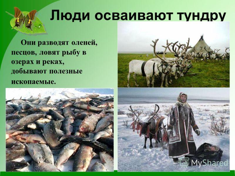 Люди осваивают тундру Они разводят оленей, песцов, ловят рыбу в озерах и реках, добывают полезные ископаемые.