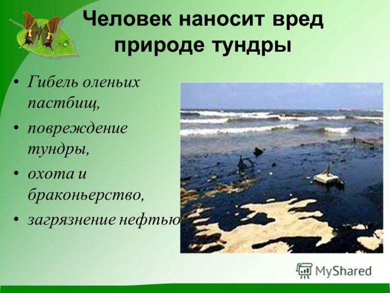 Человек наносит вред природе тундры Гибель оленьих пастбищ, повреждение тундры, охота и браконьерство, загрязнение нефтью.