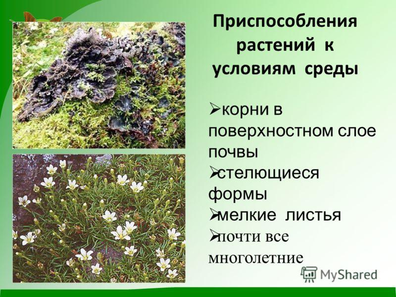 Приспособления растений к условиям среды корни в поверхностном слое почвы стелющиеся формы мелкие листья почти все многолетние