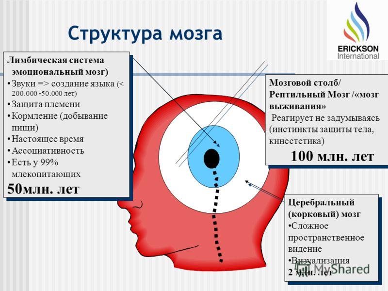 Структура мозга Мозговой столб/ Рептильный Мозг /«мозг выживания» Реагирует не задумываясь (инстинкты защиты тела, кинестетика) 100 млн. лет Мозговой столб/ Рептильный Мозг /«мозг выживания» Реагирует не задумываясь (инстинкты защиты тела, кинестетик