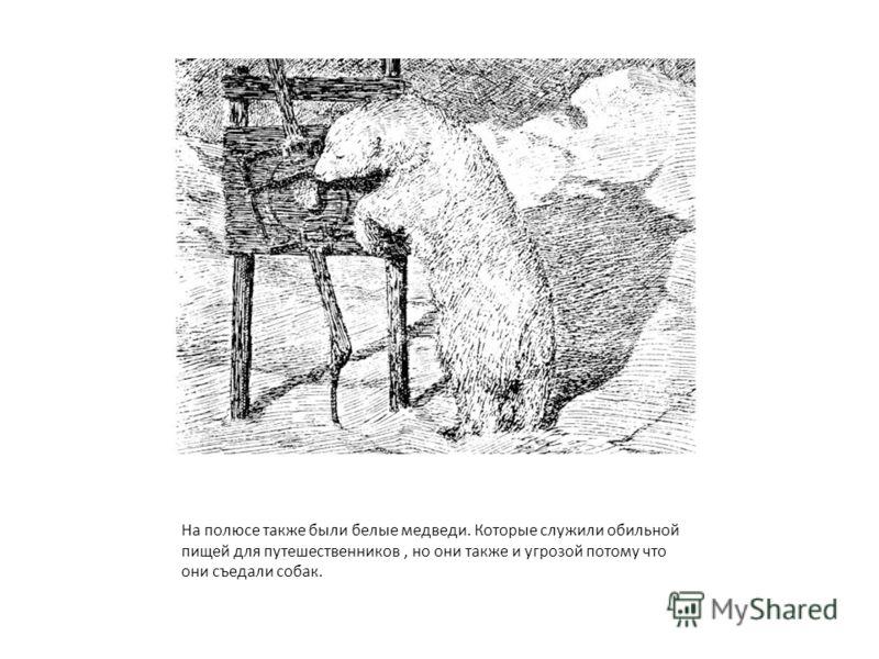 На полюсе также были белые медведи. Которые служили обильной пищей для путешественников, но они также и угрозой потому что они съедали собак.