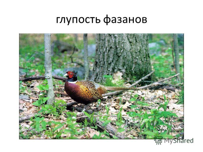 глупость фазанов