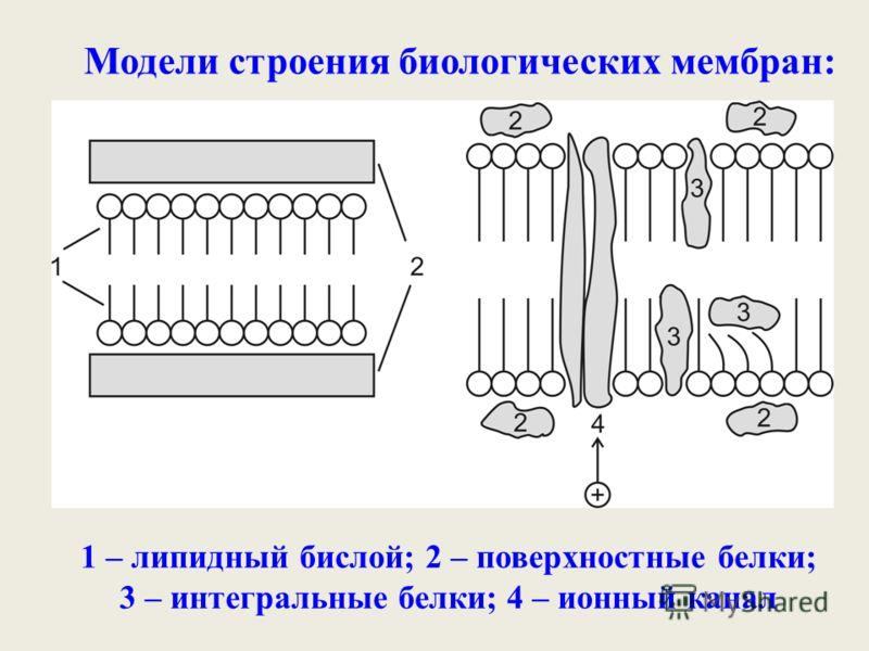 Модели строения биологических мембран: 1 – липидный бислой; 2 – поверхностные белки; 3 – интегральные белки; 4 – ионный канал