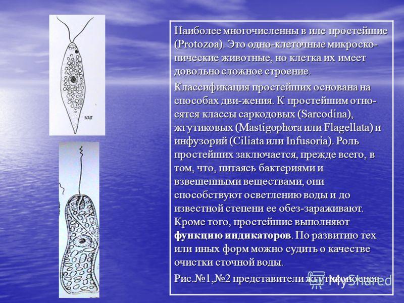 Наиболее многочисленны в иле простейшие (Protozoa). Это одно-клеточные микроско- пические животные, но клетка их имеет довольно сложное строение. Классификация простейших основана на способах дви-жения. К простейшим отно- сятся классы саркодовых (Sar