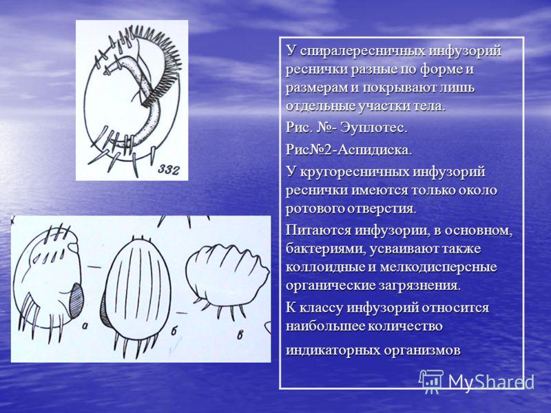У спиралересничных инфузорий реснички разные по форме и размерам и покрывают лишь отдельные участки тела. Рис. - Эуплотес. Рис2-Аспидиска. У кругоресничных инфузорий реснички имеются только около ротового отверстия. Питаются инфузории, в основном, ба