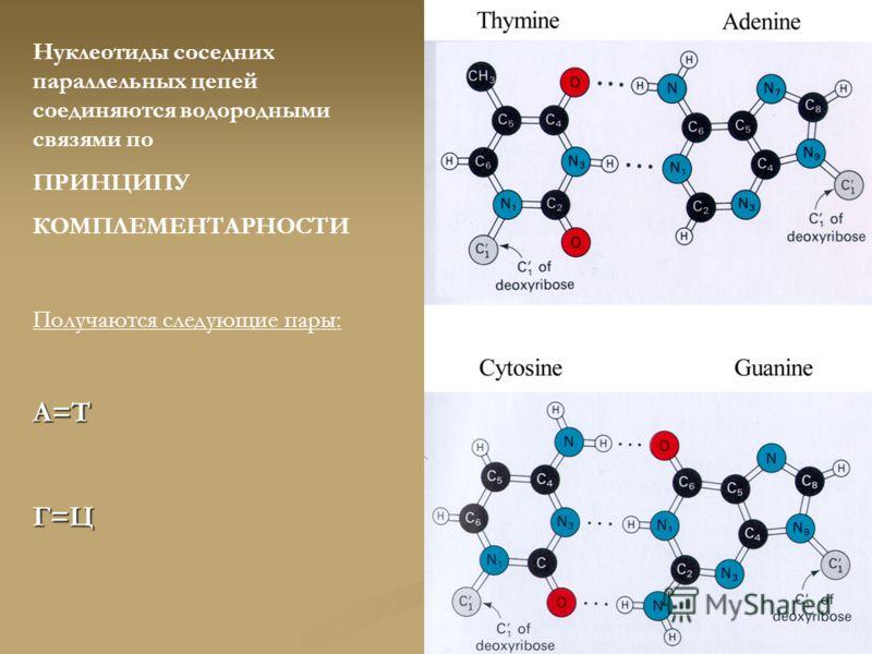 Нуклеотиды соседних параллельных цепей соединяются водородными связями по ПРИНЦИПУ КОМПЛЕМЕНТАРНОСТИ Получаются следующие пары:А=ТГ=Ц