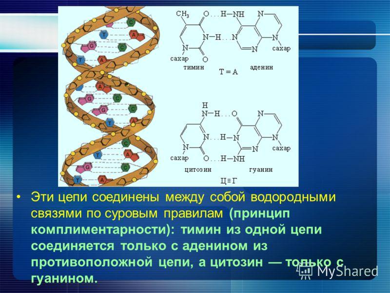 Эти цепи соединены между собой водородными связями по суровым правилам (принцип комплиментарности): тимин из одной цепи соединяется только с аденином из противоположной цепи, а цитозин только с гуанином.