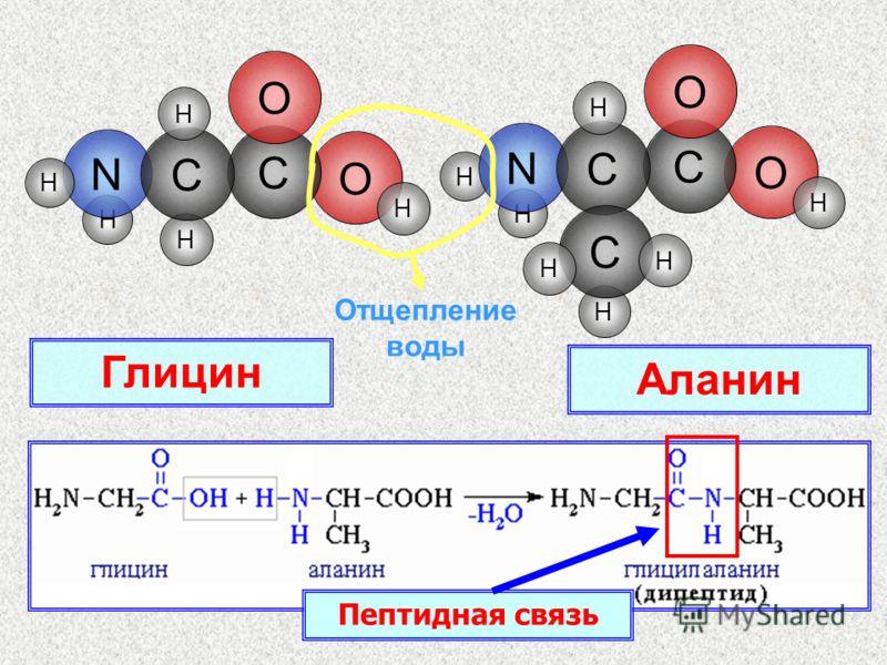 H O H C N O H C H H H H H O C N O C H H C H H Отщепление воды Глицин Аланин Пептидная связь