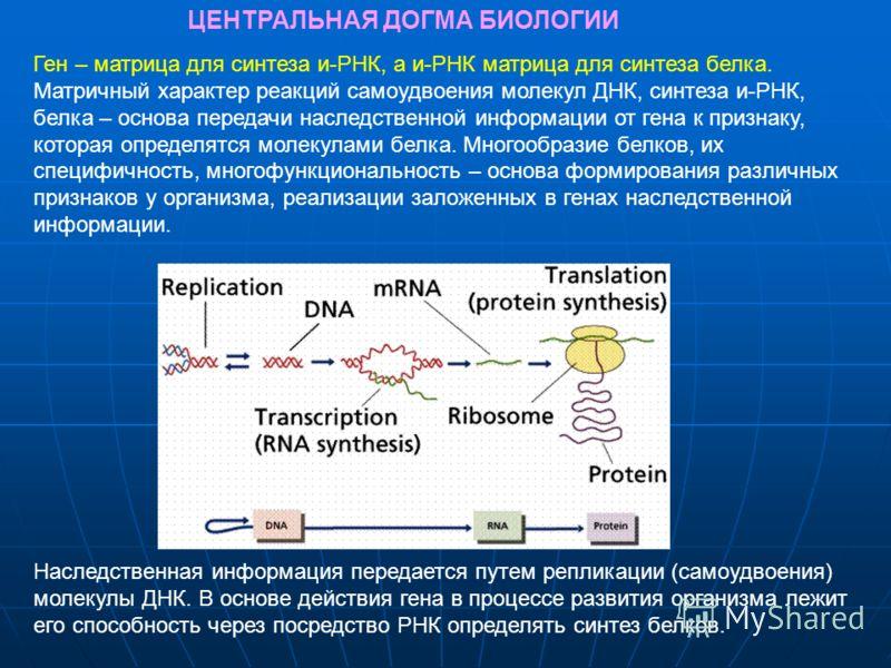Ген – матрица для синтеза и-РНК, а и-РНК матрица для синтеза белка. Матричный характер реакций самоудвоения молекул ДНК, синтеза и-РНК, белка – основа передачи наследственной информации от гена к признаку, которая определятся молекулами белка. Многоо