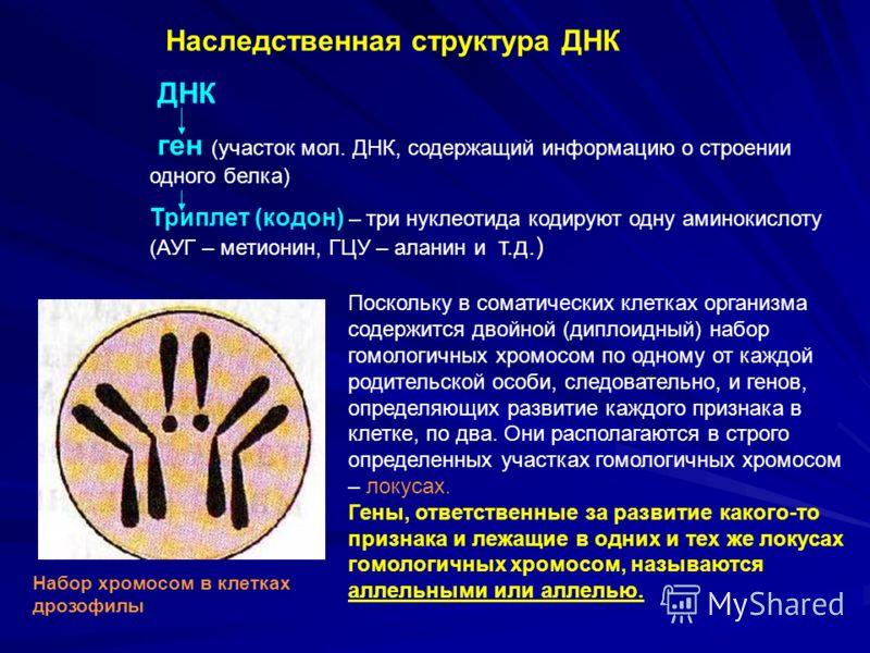 Набор хромосом в клетках дрозофилы Поскольку в соматических клетках организма содержится двойной (диплоидный) набор гомологичных хромосом по одному от каждой родительской особи, следовательно, и генов, определяющих развитие каждого признака в клетке,