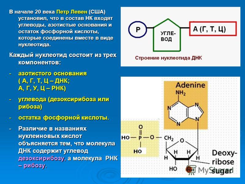 В начале 20 века Петр Левен (США) установил, что в состав НК входят углеводы, азотистые основания и остаток фосфорной кислоты, которые соединены вместе в виде нуклеотида. Каждый нуклеотид состоит из трех компонентов: -азотистого основания ( А, Г, Т,