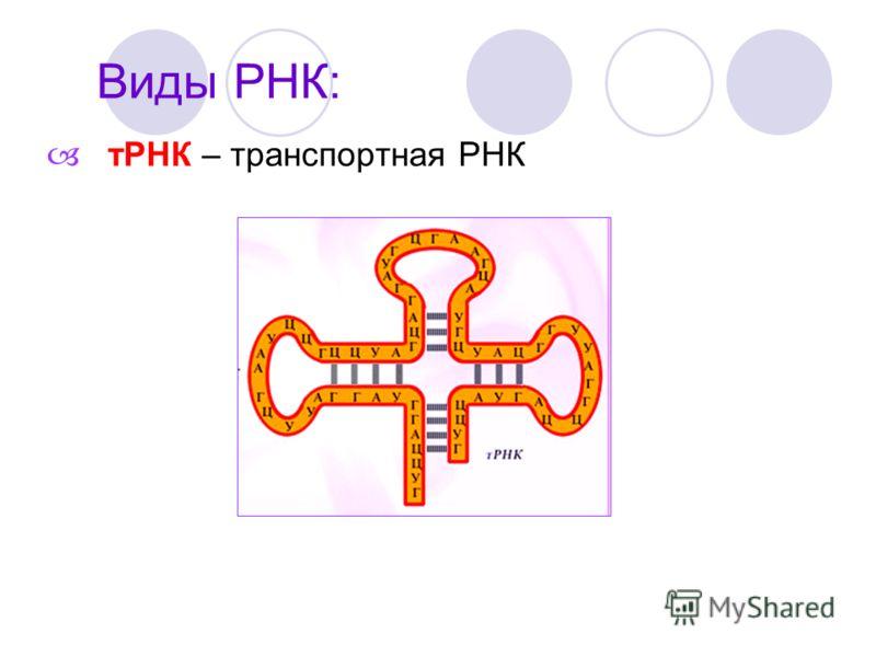 тРНК – транспортная РНК