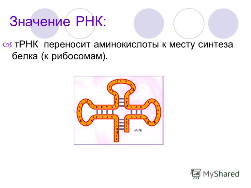 тРНК переносит аминокислоты к месту синтеза белка (к рибосомам).