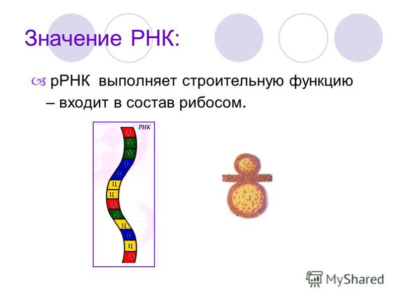 рРНК выполняет строительную функцию – входит в состав рибосом.