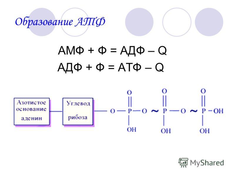 АМФ + Ф = АДФ – Q АДФ + Ф = АТФ – Q