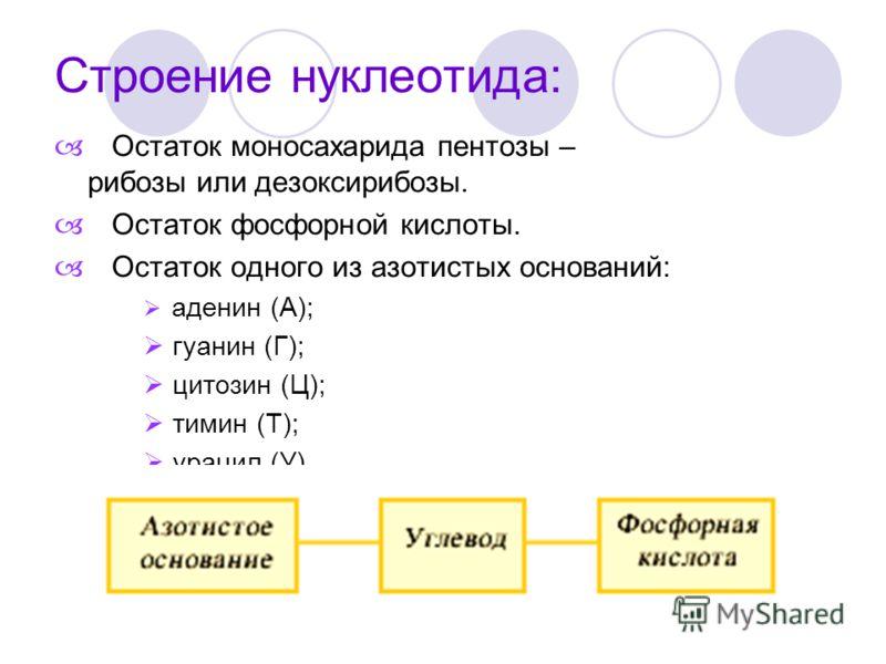 Строение нуклеотида: Остаток моносахарида пентозы – рибозы или дезоксирибозы. Остаток фосфорной кислоты. Остаток одного из азотистых оснований: аденин (А); гуанин (Г); цитозин (Ц); тимин (Т); урацил (У).
