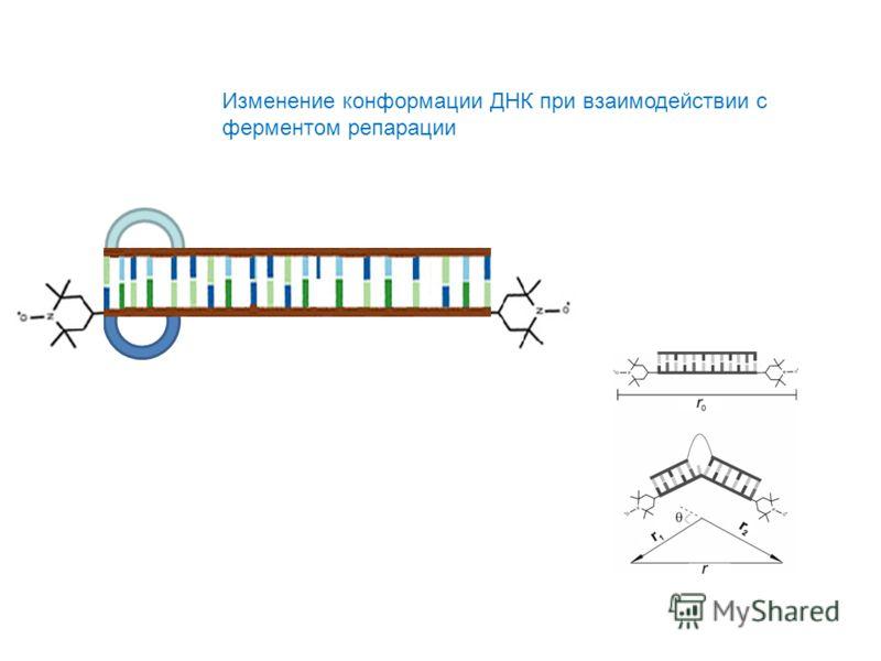 Изменение конформации ДНК при взаимодействии с ферментом репарации