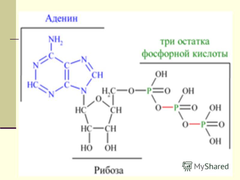 15 АТФ. Почему АТФ называют «аккумулятором» клетки? АТФ-аденозинтрифосфорная кислота АТФ (нуклеотид) Азотистое основание углевод 3 молекулы H3 PO4