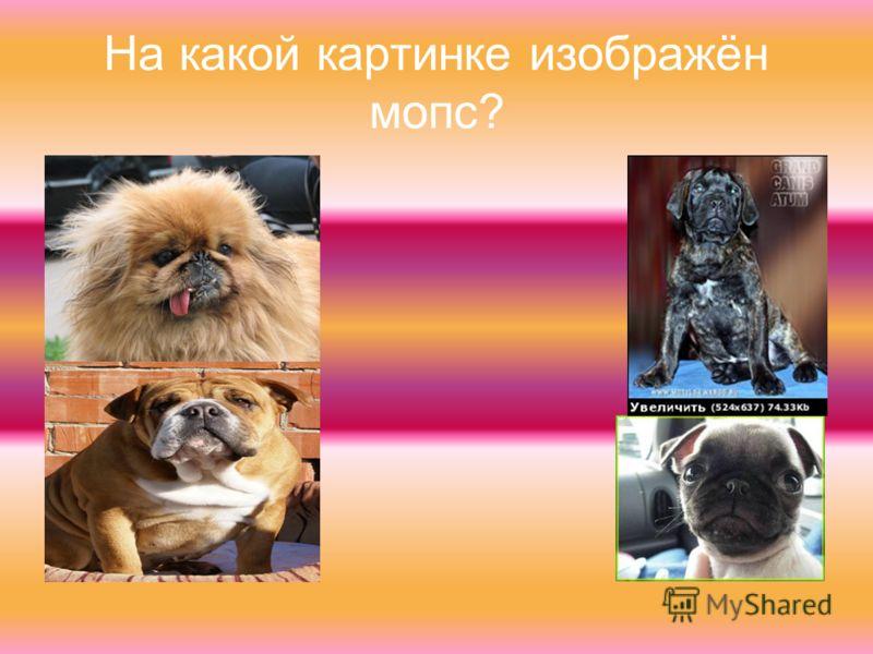 На какой картинке изображён мопс?