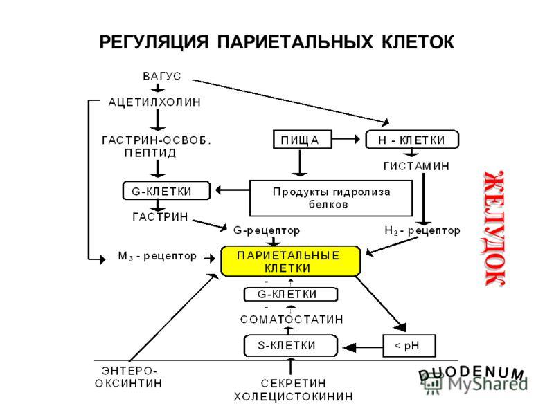 РЕГУЛЯЦИЯ ПАРИЕТАЛЬНЫХ КЛЕТОК