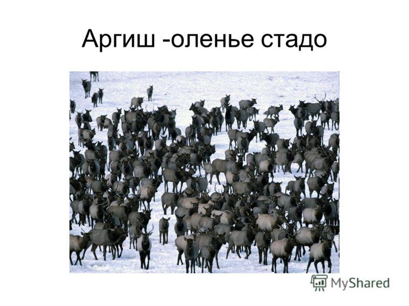 Аргиш -оленье стадо