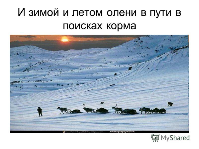 И зимой и летом олени в пути в поисках корма