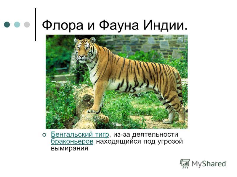 Флора и Фауна Индии. Бенгальский тигр, из-за деятельности браконьеров находящийся под угрозой вымирания Бенгальский тигр браконьеров