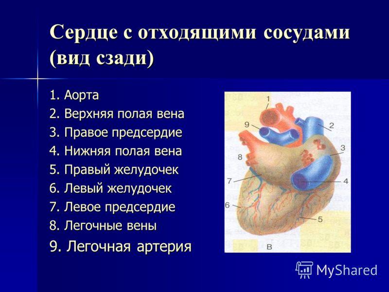 Пользуясь рисунком 53 ( В) стр 111 обозначьте на схеме части сердца
