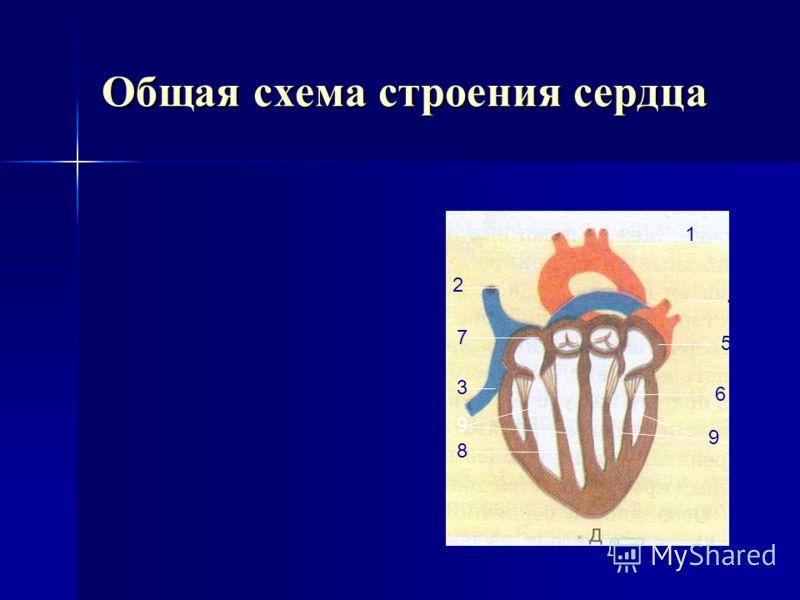 Внутреннее строение сердца (правая сторона) 1. Аорта 2. Легочная артерия с полулунным клапаном 3. Правый желудочек 4. Створчатые клапаны с сухожильными нитями и сосочковыми мышцами 5. Нижняя полая вена 6. Правое предсердие 7. Верхняя полая вена