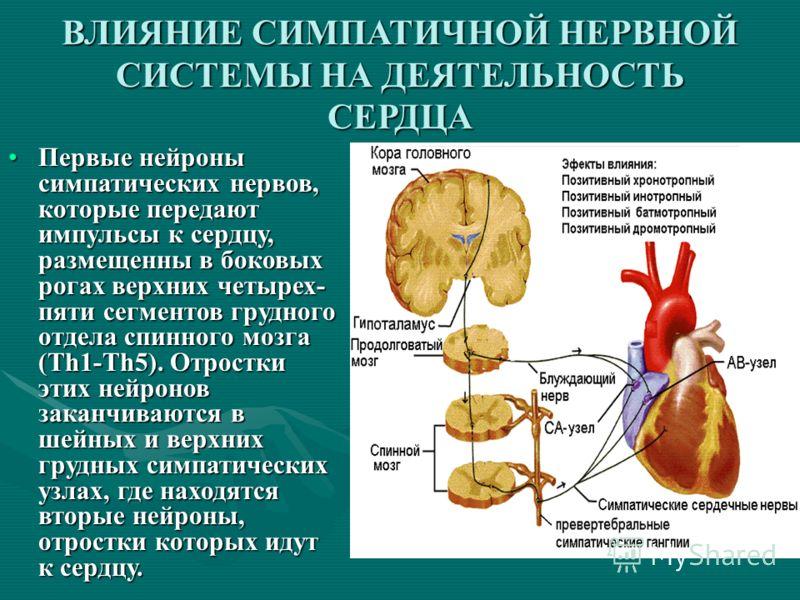 Первые нейроны симпатических нервов, которые передают импульсы к сердцу, размещенны в боковых рогах верхних четырех- пяти сегментов грудного отдела спинного мозга (Th1-Th5). Отростки этих нейронов заканчиваются в шейных и верхних грудных симпатически
