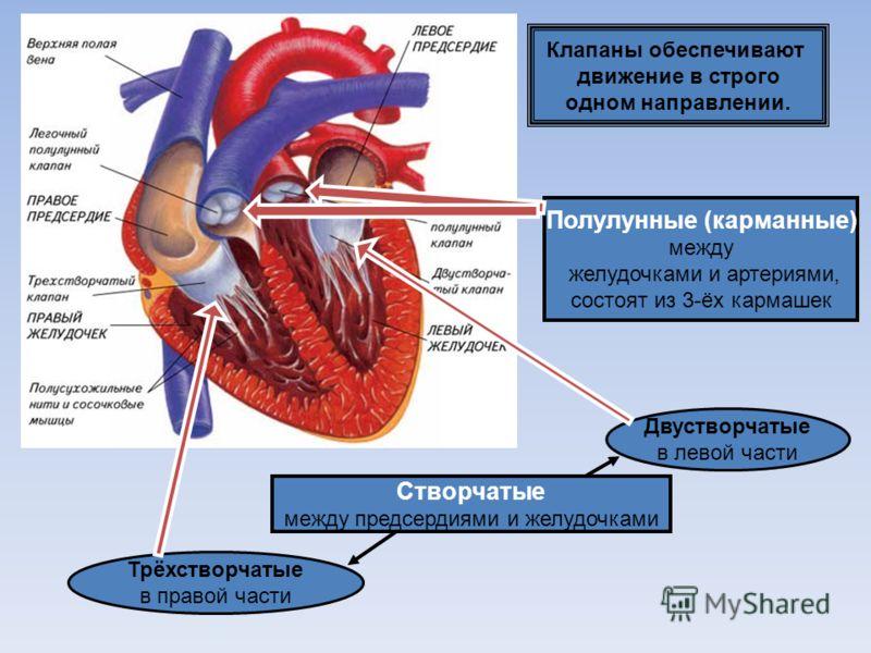 Сердце человека 4х камерное 2 предсердия 2 желудочка Сплошная перегородка делит сердце на 2 части. В левой части- артериальная кровь. В правой – венозная. п ж ж п Сердце человека 4х камерное 2 предсердия 2 желудочка